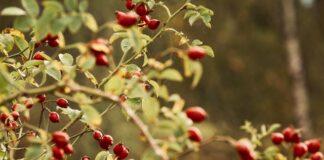 dzika róża owoce witamina c odporność krzew